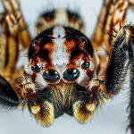 jumping spider eyes