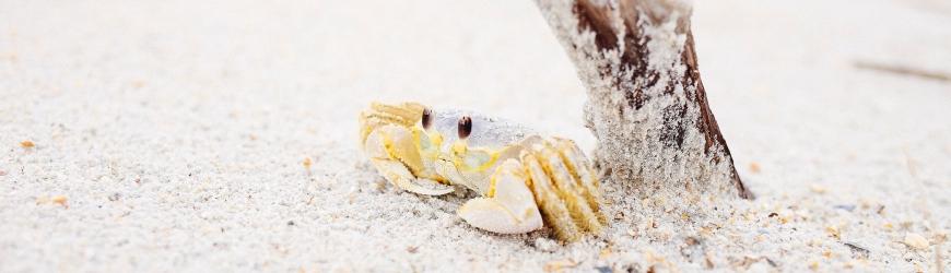 Crab on beach under a twig