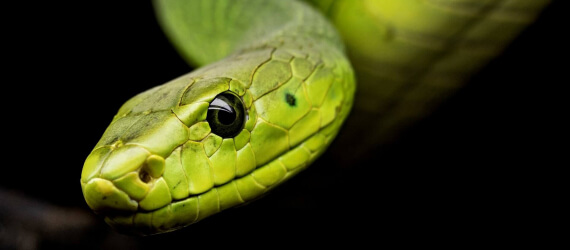 Green snake black background